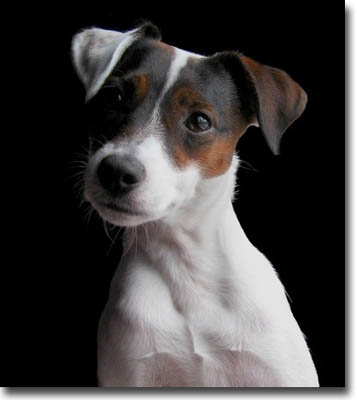 Jack russell terrier lovely headstudy portrait of a jack russell